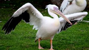 Great white pelicans in the Zoo. Argentina stock video