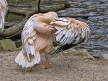 Great White-Pelikan, Pelecanus onocrotalus, justiert Federn stockfoto