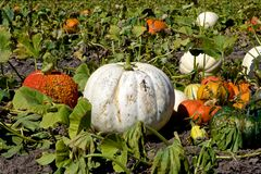 Great White Pumpkin Stock Photo