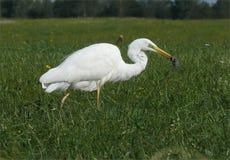 Great White-Reiherjagden für Mäuse unter grünem Feld stockfotografie