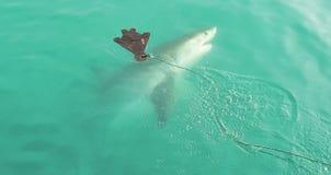 Great White rekinu cyzelatorstwa foka wabije zdjęcia royalty free