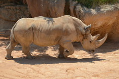 Great white rhinoceros walking. Photo of an white rhinoceros walking in the sand Stock Photo