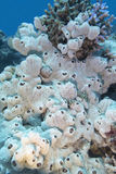 Great white sea sponge at the bottom of tropical sea, underwater Royalty Free Stock Photo