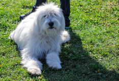 Great white shaggy dog. Lying on green grass Royalty Free Stock Photo