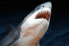 Great White Shark. Head of a Great White Shark against a blue background stock images
