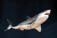 Great White Shark. Against a blue background royalty free stock photo