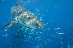 Great White Shark. Traveling underwater in the Pacific Ocean Royalty Free Stock Image