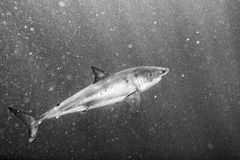 Great White shark attack in b&w. Artistic image of Great White shark while coming to you on deep blue ocean background in black and white Royalty Free Stock Photos