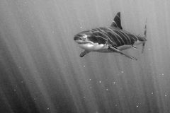 Great White shark attack in b&w Stock Photography