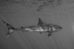 Great White shark attack in b&w close up Royalty Free Stock Photos