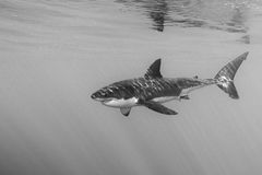 Great White shark attack in b&w close up Stock Photography