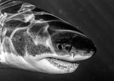 Great White shark attack in b&w. Great White shark while coming to you on deep blue ocean background in black and white Stock Image