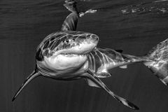 Great White shark attack in b&w. Great White shark while coming to you on deep blue ocean background in black and white Stock Images