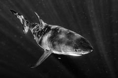 Great White shark attack in b&w Royalty Free Stock Image