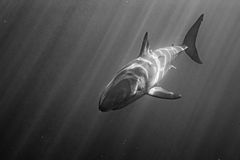 Great White shark attack in b&w. Great White shark while coming to you on deep blue ocean background in black and white Stock Photos