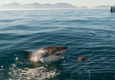 Great White Shark attack. Great White Shark (Carcharodon carcharias) attack stock photo