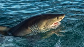 Great White Shark in attack. Great white shark with open mouth in ocean. Great White Shark in attack. Scientific name: Carcharodon carcharias. South Africa stock photo
