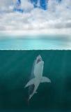 Great White Shark Attack, Sea Ocean Royalty Free Stock Photo