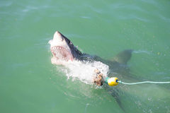 Great White Shark Attacking Decoy 2 Stock Images