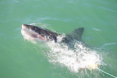 Great White Shark Attacking Decoy 3 Stock Photo