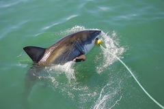 Great White Shark Attacking Decoy 5. A Great White Shark biting a decoy and bait in the ocean stock photography