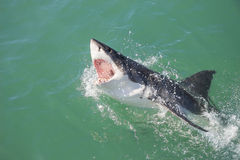 Great White Shark Attacking Decoy 4 royalty free stock images