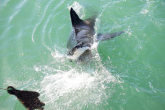 Great White Shark Attacking Decoy 1 Stock Image