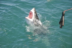 Great white shark. Attacking seal lure royalty free stock image