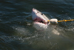 A great white shark with a bait rope in its mouth. A great white shark catches the bait rope at a shark cage diving boat in South Africa Stock Photo