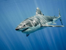 Great white shark. The great white shark in the big blue Royalty Free Stock Photography