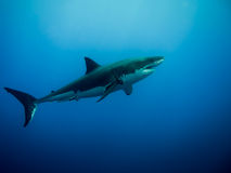 Great white shark in the blue ocean. Great white shark swimming in the blue Pacific Ocean under sunlight at Guadalupe Island in Mexico Royalty Free Stock Photography