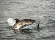 Great white shark breaching Royalty Free Stock Photos