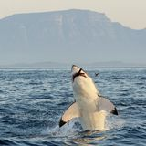 Great White Shark breaching. Great White Shark (Carcharodon carcharias) breaching in an attack on seal , South Africa stock photo