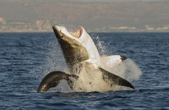 Great White Shark breaching. Great White Shark (Carcharodon carcharias) breaching in an attack on seal , South Africa stock photos