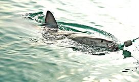 Great White Shark breaching sea surface to catch meat lure and seal decoy. Great White Shark breaching the sea surface after being lured to a cage diving boat by stock photography