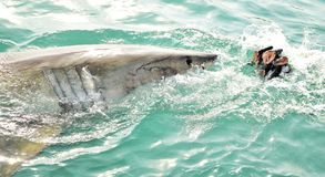 Great White Shark breaching sea surface to catch meat lure and seal decoy. Great White Shark breaching the sea surface after being lured to a cage diving boat by stock images