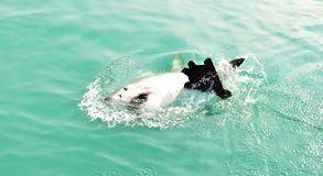 Great White Shark breaching sea surface to catch meat lure and seal decoy. Great White Shark breaching the sea surface after being lured to a cage diving boat by royalty free stock images
