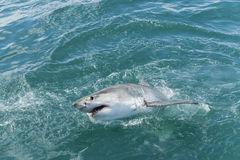 Great white shark. Breaching showing open jaws and teeth Stock Images