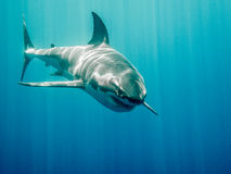 Great white shark Bruce from Finding Nemo. Great white shark who looks like Bruce from Finding Nemo movie in the blue Pacific Ocean  at Guadlupe Island in Mexico Stock Photography