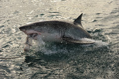 Great white shark (Carcharodon carcharias) Royalty Free Stock Image