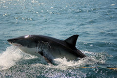 Great White Shark - Carcharodon Carcharias Royalty Free Stock Photography