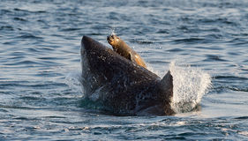 Great White Shark (Carcharodon carcharias) attack. S a seal with splashes Royalty Free Stock Photography