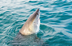 Great White Shark Carcharodon carcharias. Stock Image