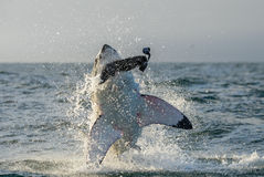 Great White Shark Carcharodon carcharias breaching in an attac. K. Hunting of a Great White Shark Carcharodon carcharias. South Africa stock image