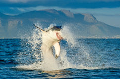 Great White Shark Carcharodon carcharias breaching in an attac. K. Hunting of a Great White Shark Carcharodon carcharias. South Africa royalty free stock photo