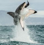 Great White Shark (Carcharodon carcharias) breaching. In an attack. Hunting of a Great White Shark (Carcharodon carcharias). South Africa Stock Photos