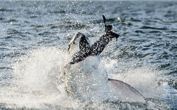 Great White Shark (Carcharodon carcharias) breaching in an attack. Hunting of a Great White Shark (Carcharodon carcharias). South Africa stock image