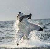Great White Shark (Carcharodon carcharias) breaching in an attack. Hunting of a Great White Shark (Carcharodon carcharias). South Africa royalty free stock photo