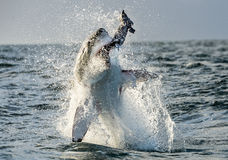 Great White Shark (Carcharodon carcharias) breaching in an attack. Hunting of a Great White Shark (Carcharodon carcharias). South Africa Stock Photo