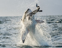 Great White Shark (Carcharodon carcharias) breaching Royalty Free Stock Photography